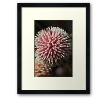 Pincussion Hakea  Framed Print