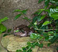 Garden Toad by Jarede Schmetterer