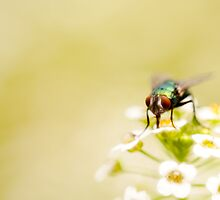 mystery in my garden #10 (actually it's just a fly.. :p) by JendrikW