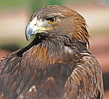 Golden Eagle  by Judy Grant