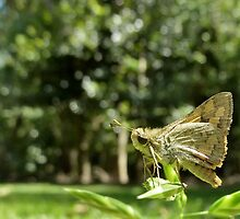 Greenish Grass Dart Butterfly by NaturalCultural