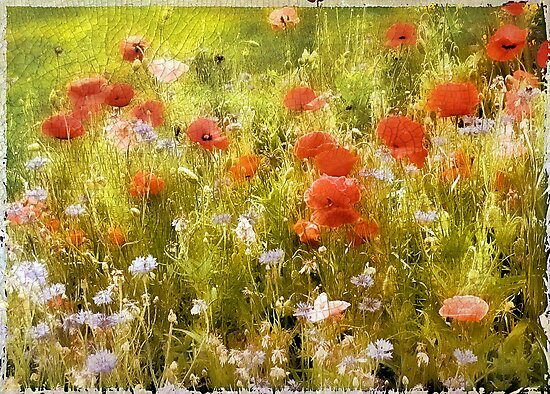 Poppy Field by Jessica Jenney