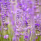 Lavender Farm by Yincinerate