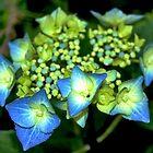 Blue Hydrangeas by Littlest