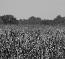 Field of Corn by D.M. Mucha