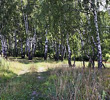 Birch Grove by magneta