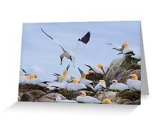 Bringing a gift, gannets, Saltee Island, County Wexford, Ireland Greeting Card