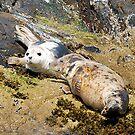 Grey Seals by shakey