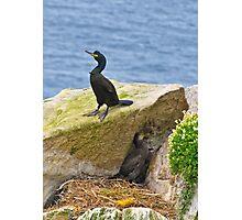 protecting the nest, Saltee Island, Co Wexford, Ireland. Photographic Print