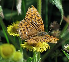 Male Silver washed Fritillary by Sharon Perrett