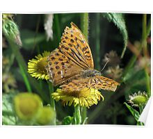 Male Silver washed Fritillary Poster