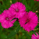 Hot Pink Dianthus by kittyrodehorst