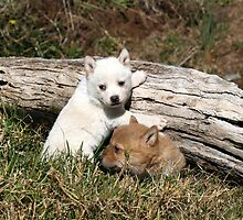 dingo pups  # 4 by Lyn  Thomsen