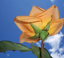 Back side of a Peach Rose by Diane Trummer Sullivan