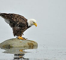 Eagle Rock - American Bald Eagle by Barbara Burkhardt
