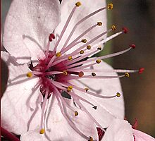 Flower of the Prunus Tree by Bev Pascoe