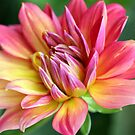 dahlia burst by mooksool