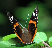 Red Admiral by Sharon Perrett