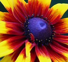 Center Blue (Rudbeckia) by lorilee
