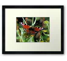 A Peacock for Sue Framed Print
