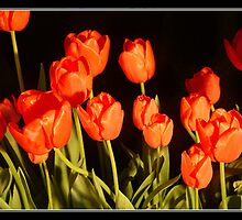 Red Tulips no 4 by jakking