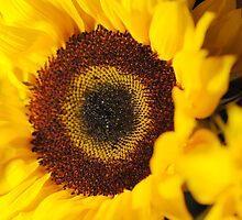Sunflower Close Up by bloomingvine