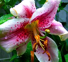 Asiatic Lily by Rebecca Luering