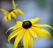 Black Eyed Susan by Erika Benoit