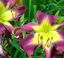 St. Louis Purple and Yellow Lilies by Rebecca Luering