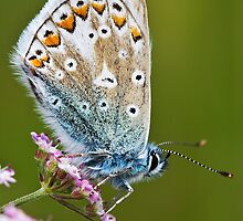 Common Blue Butterfly by David Lewins