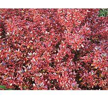 Red Coprosma Photographic Print