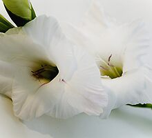 Soft white and gentle by Steve plowman