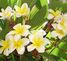 White and Yellow Frangipani Flowers with Leaves in Background  by taiche