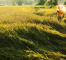 rice fields sri lanka by John Slater