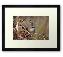 Superb Fairy-Wren ~ young male II Framed Print