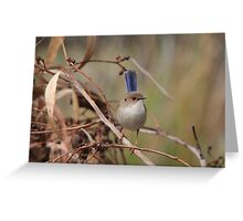 Superb Fairy-Wren ~ young male II Greeting Card