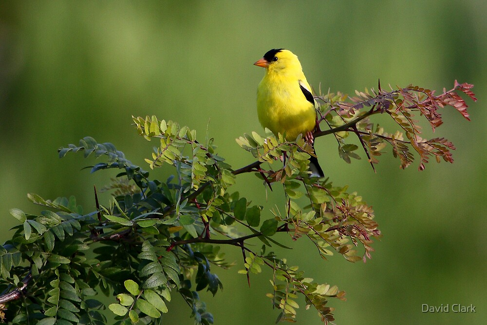Goldfinch on Locust by David Clark