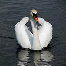 Swan wings apart by viaterra-photos