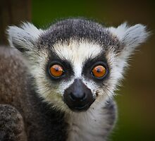 Bright baby eye' d lemur ....... by jdmphotography