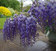Wisteria in Spring by lezvee