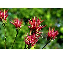 Red and Wild Indian Paint Brushes Photographic Print