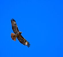 Red Tail, Blue Sky by KarDanCreations