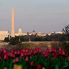 Washington DC, Arlington tulips, and a Sun Beginning to Set by Paul Bohman
