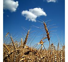 Harvest Ready Photographic Print