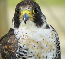 Peregrine Falcon by Rob Parsons