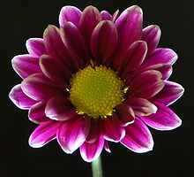 Chrysanthemum by rgstrachan