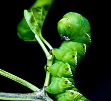 Hornworm by Jose O. Mediavilla
