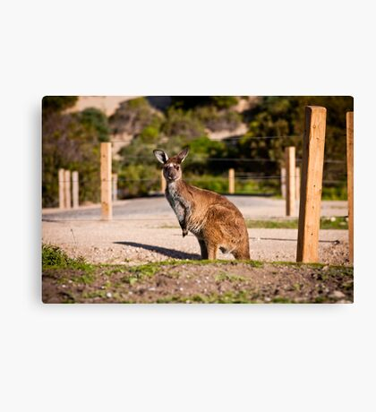 Wild Roo - Innes National Park - South Australia Canvas Print