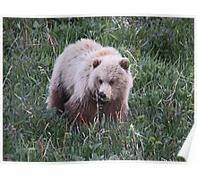 Grizzly  Bear Cub Poster