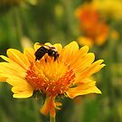 yellow  n bee by ANNABEL   S. ALENTON
